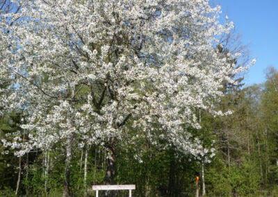 Vandra i Valle Körsbärsträd